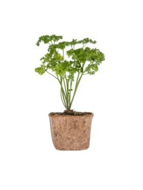 Qubo PH Parsley DIY Garden Kit
