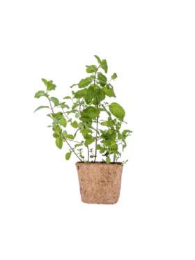 Qubo PH Peppermint DIY Garden Kit