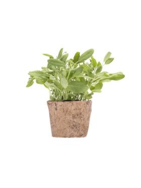 Qubo PH Sage DIY Garden Kit