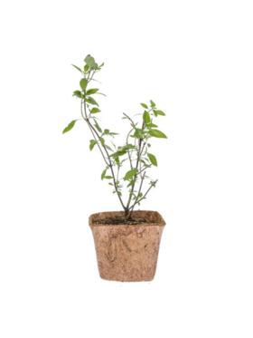 Qubo PH Thai Basil DIY Garden Kit