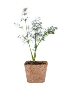 Qubo PH Dill DIY Garden Kit